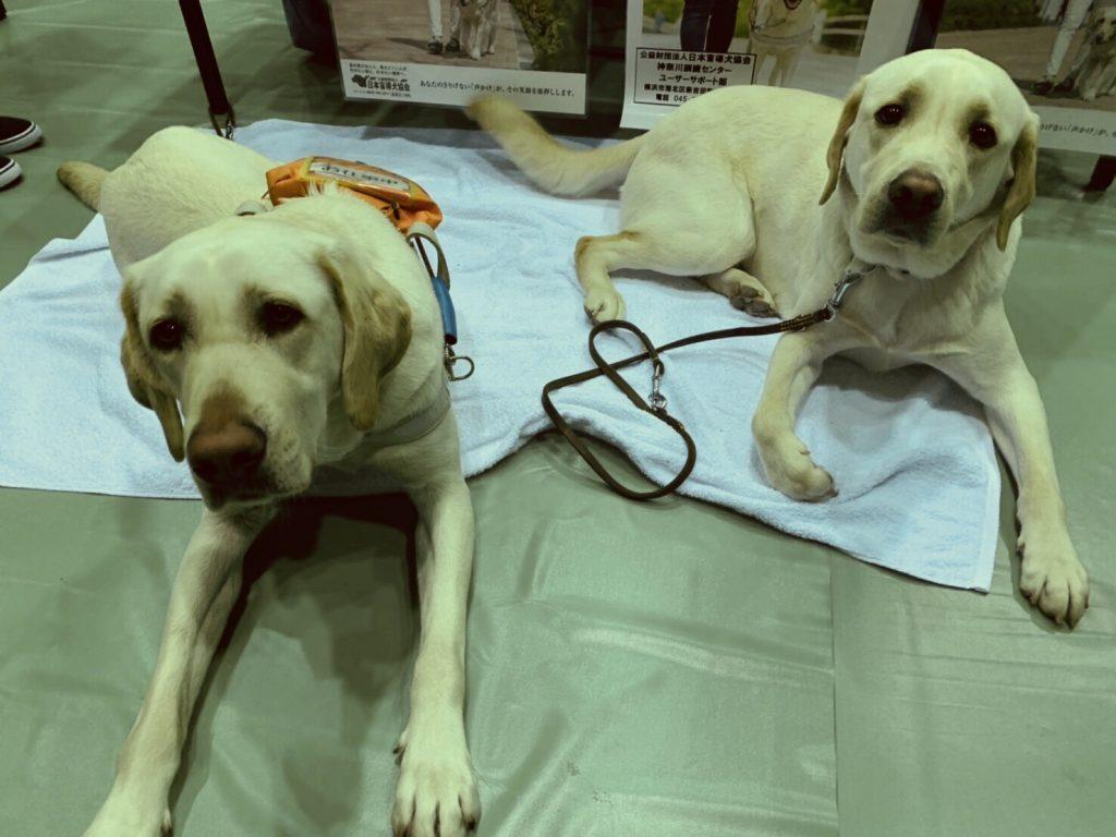 盲導犬が2頭座って待機している画像。