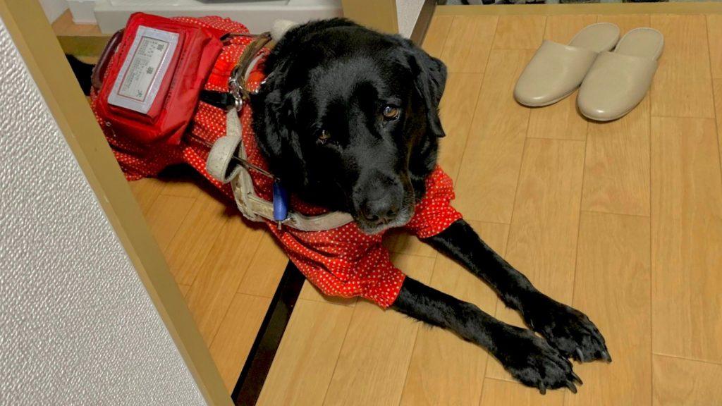 職場の待機場所で待つ清水さんの盲導犬をアップで撮影した画像。